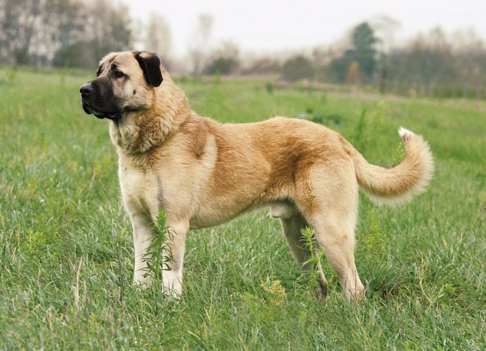 волкодав порода собак
