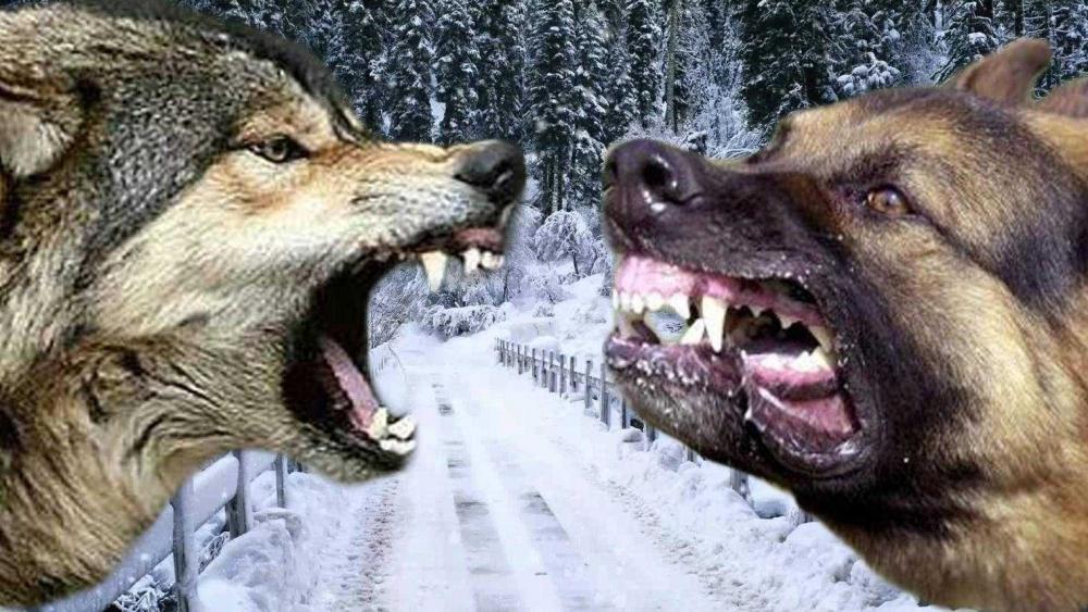кавказский волкодав собака фото