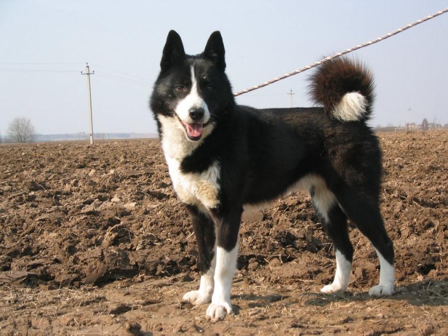 восточно сибирская лайка щенки