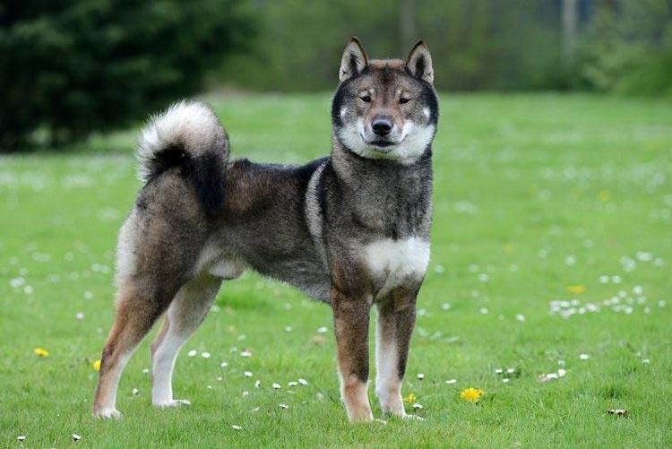 японские породы собак с фотографиями и названиями
