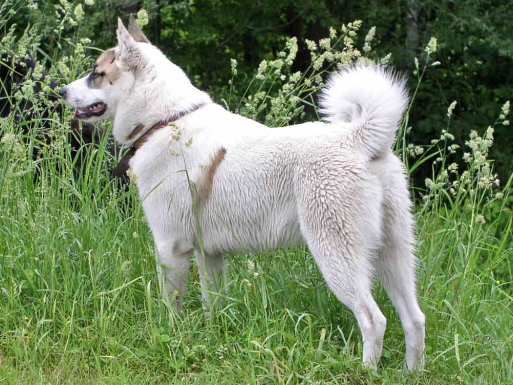 западно сибирская лайка характеристика породы