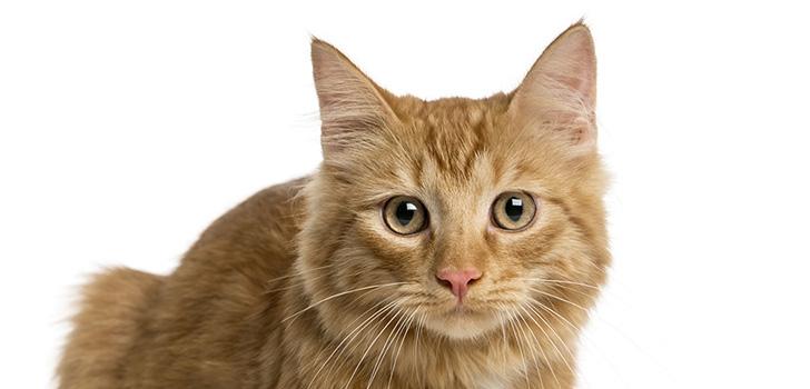 чем лечить акне у кошек