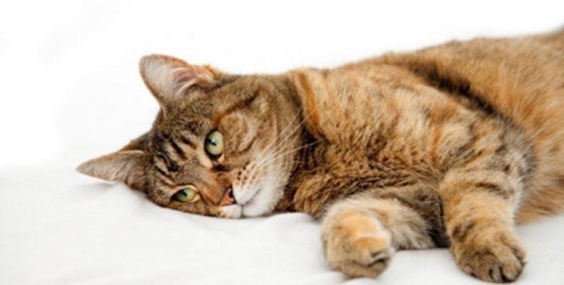 акне у кошек причины