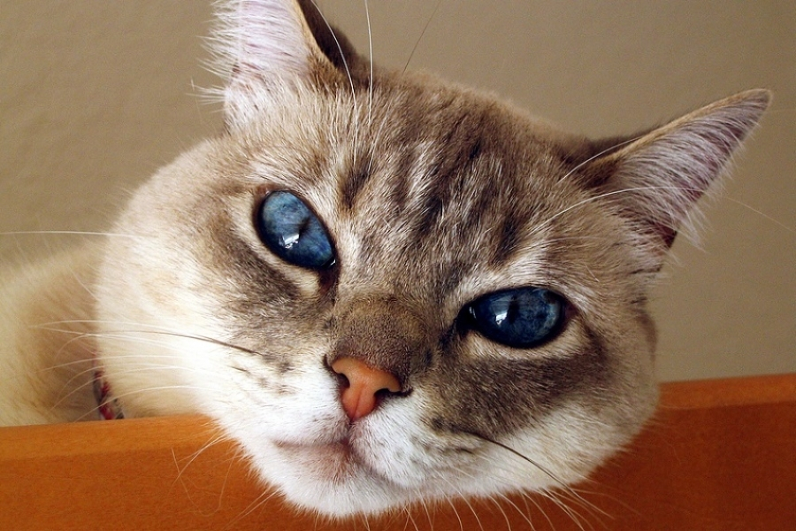 как проявляется аллергия у кошек