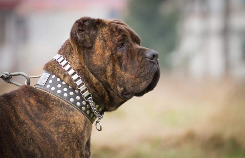 бандог собака