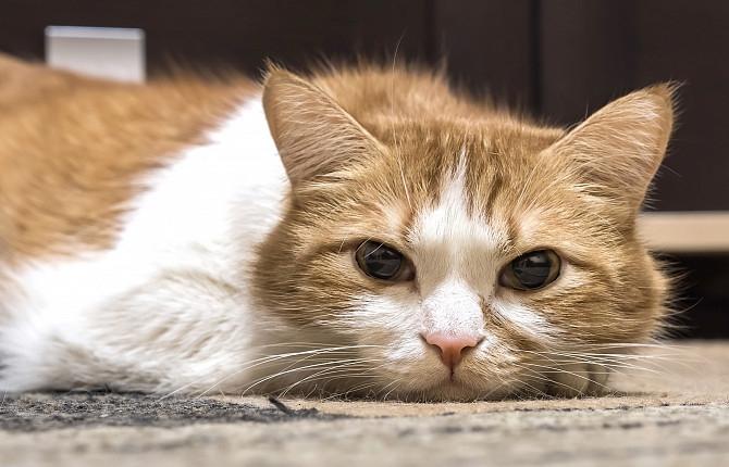 анемия у кошек симптомы и лечение