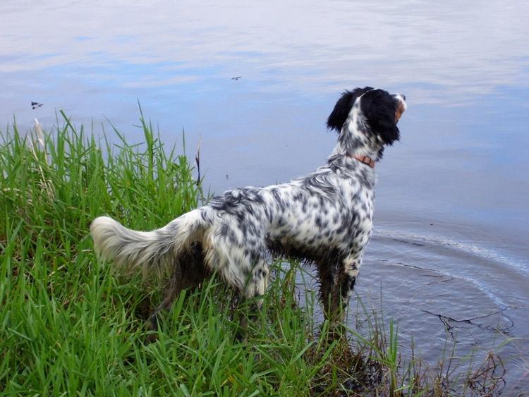 собака породы сеттер