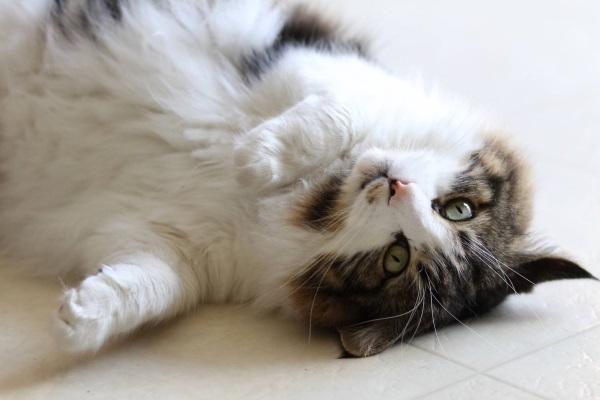 у кота жидкость в брюшной полости