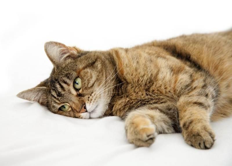 асцит брюшной полости у кошек
