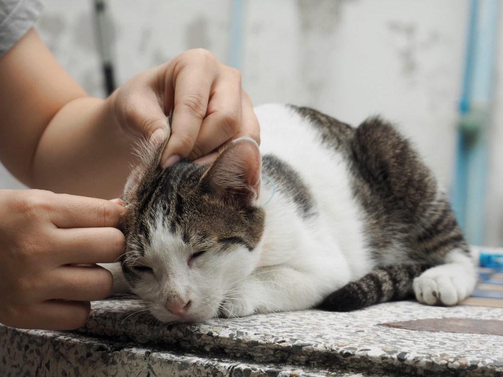 Дерматит у кошек и котов
