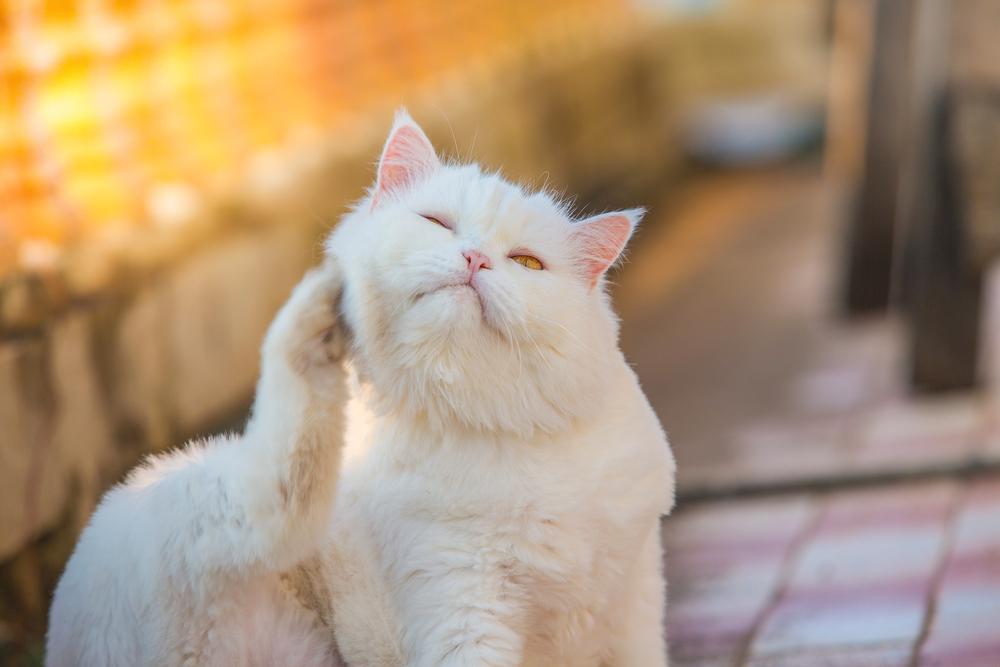 Блошиный дерматит у кошек профилактика