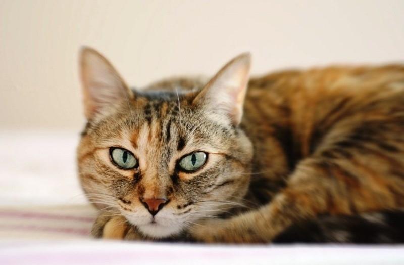 как избавиться от кошачьих блох в квартире