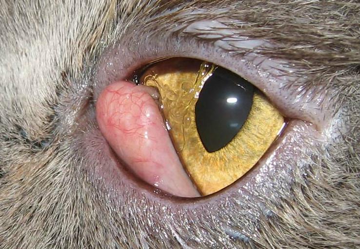 заболевания глаз у кошек симптомы и лечение