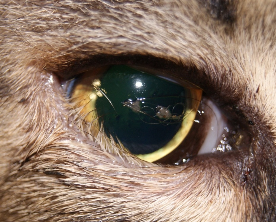 бельмо на глазу у кошки лечение