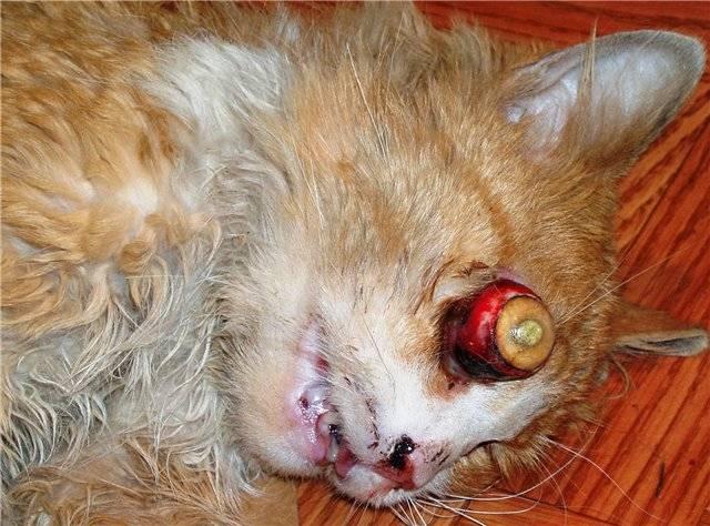 у кошки воспалился глаз чем лечить