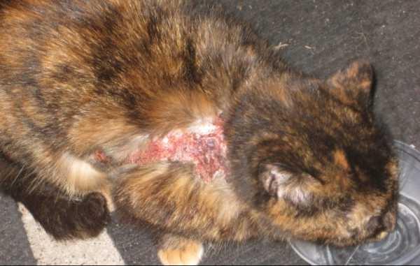 болячки у кошек по всему телу