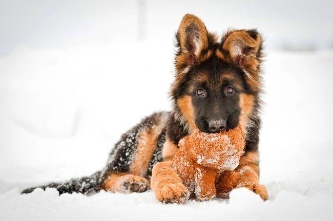 кормление щенка немецкой овчарки 4 месяца