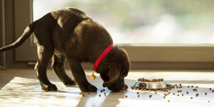 сколько раз кормить щенка