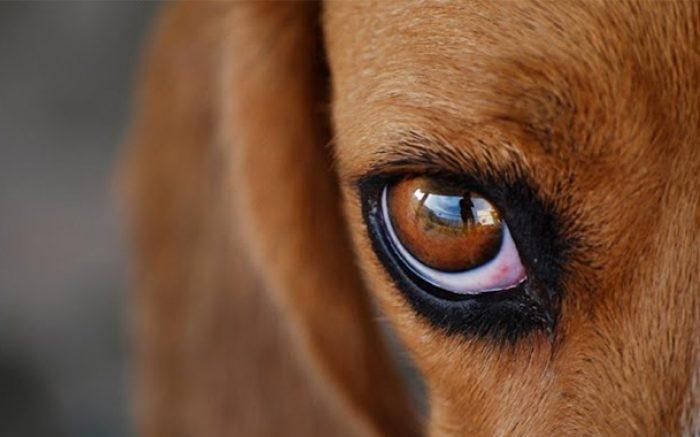 чем промыть глаза собаке от гноя