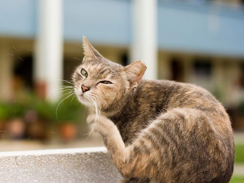 чесотка у кошек лечение в домашних условиях