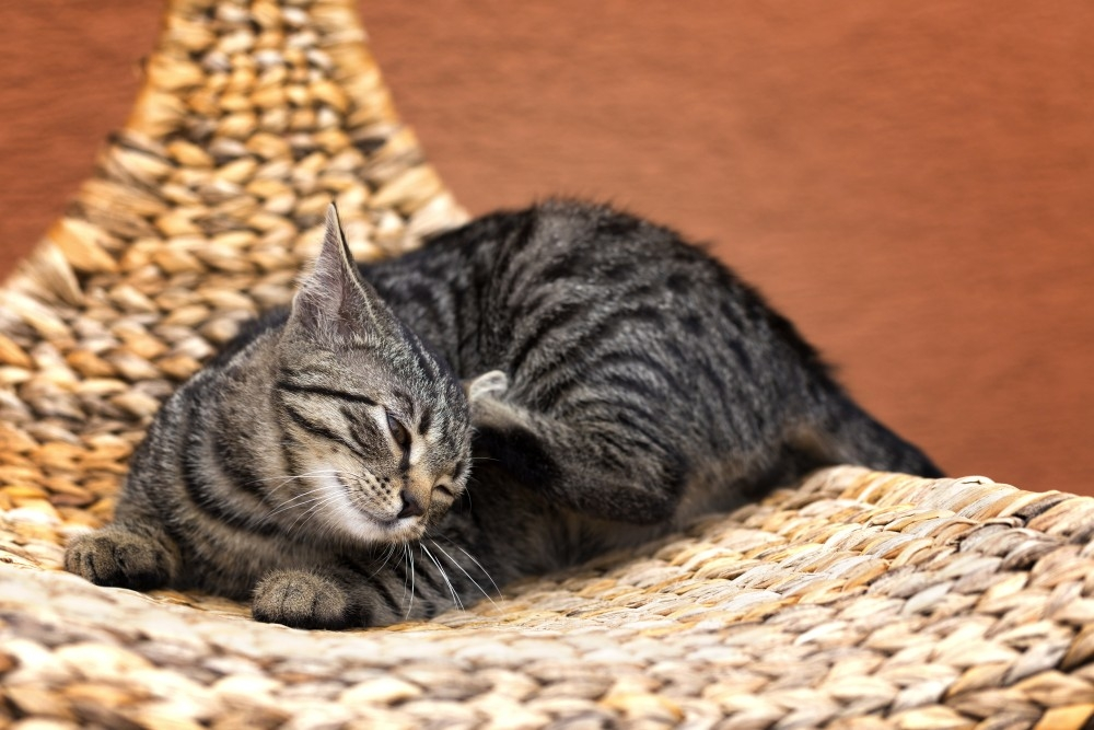 можно ли заразиться чесоткой от кошки