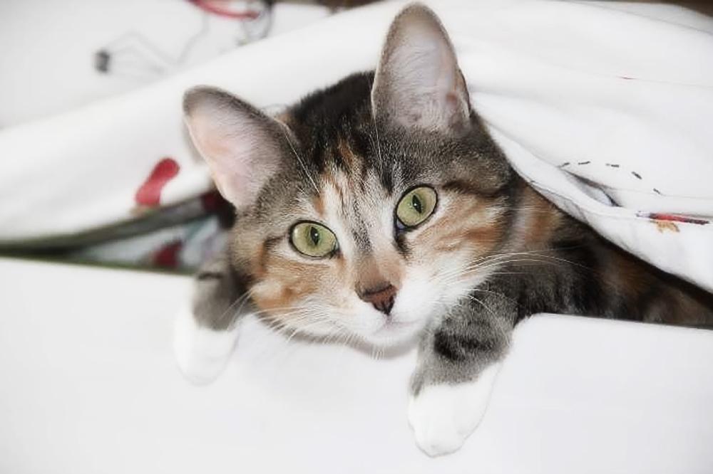 как проявляется чумка у кошек