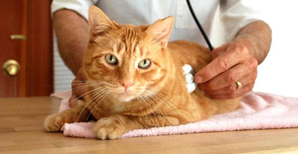 антибиотики при цистите у кошек