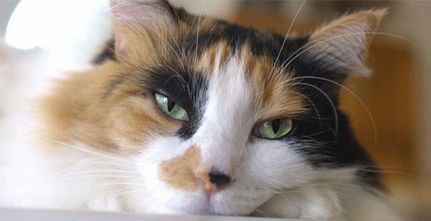 лечение цистита у кошек препараты