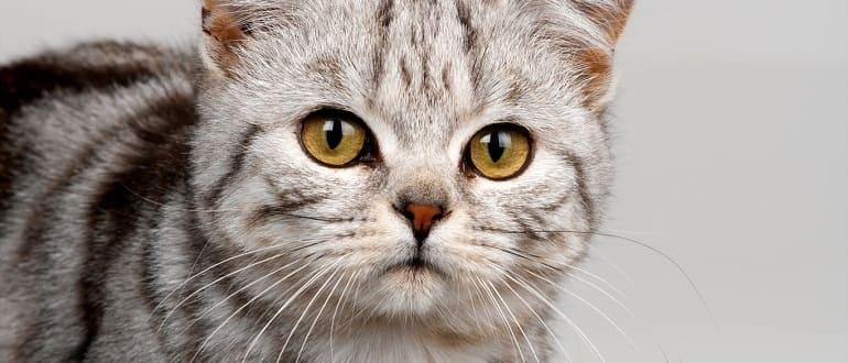 демодекоз у кошек симптомы