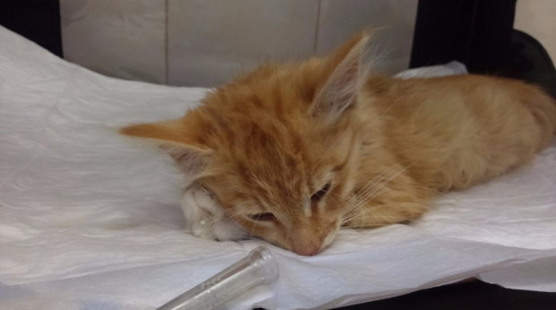 демодекоз у кошек лечение в домашних условиях