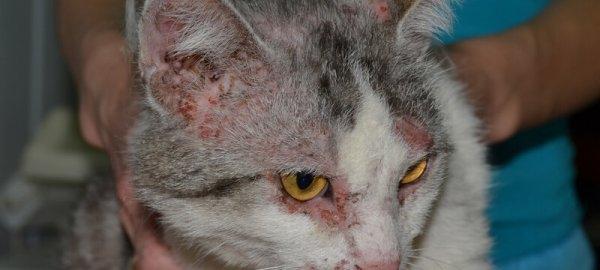 аллергический дерматит у кошек симптомы и лечение