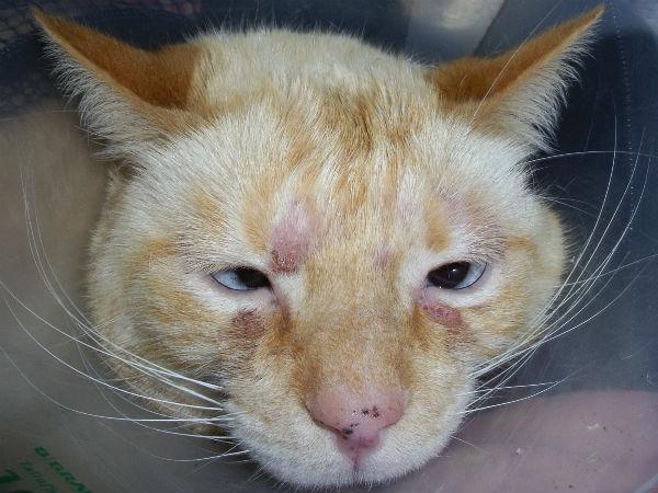 дерматит у кошек лечение в домашних условиях