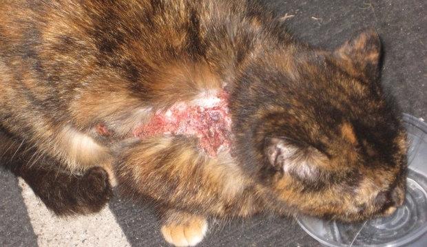 милиарный дерматит у кошек фото