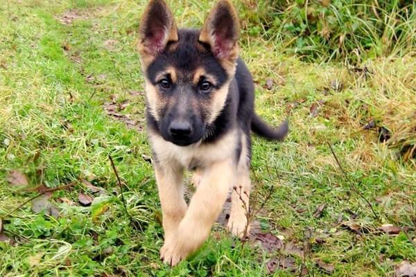 обучение щенка немецкой овчарки командам