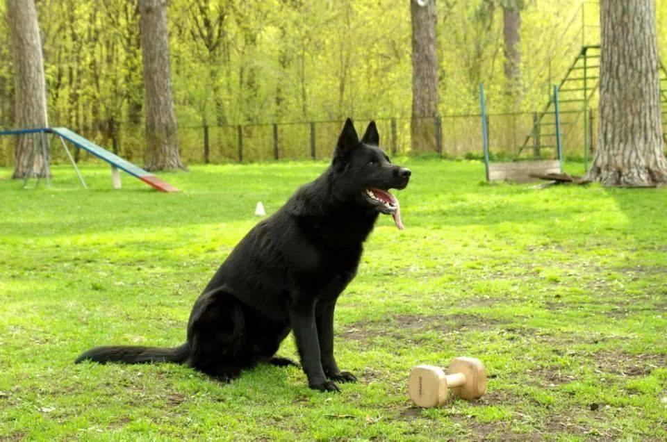 немецкая овчарка воспитание и дрессировка