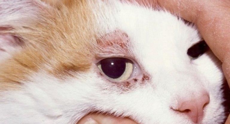 экзема у кошек
