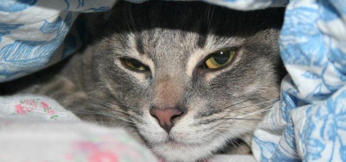 парвовирусный энтерит у кошек