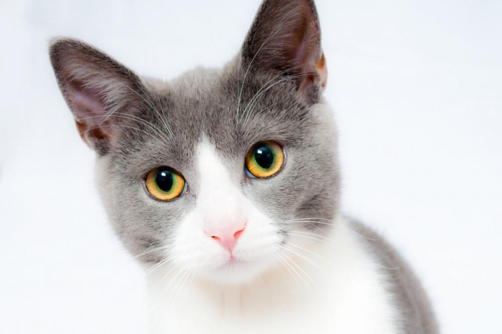 фип у кошек что это