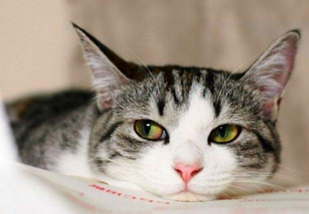 гемобартонеллез кошек