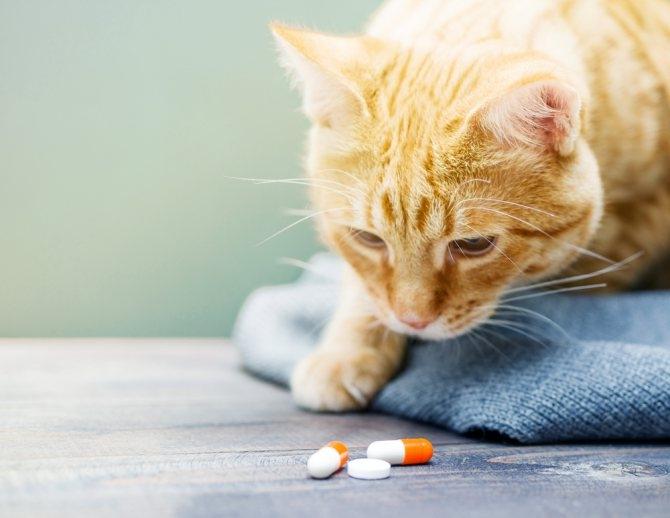 гепатит у кошек передается ли человеку