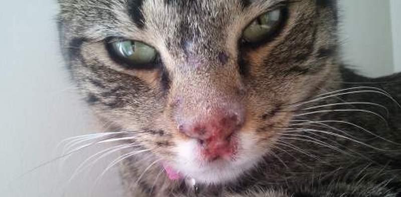 герпес у кота