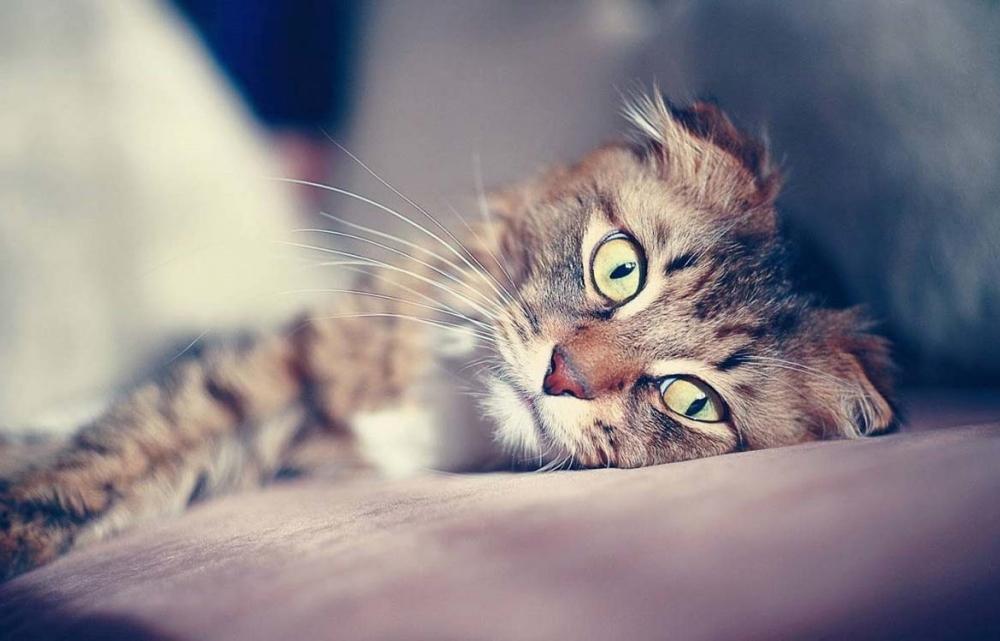 метимазол для кошек