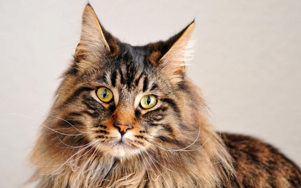 кардиомиопатия у кошек симптомы