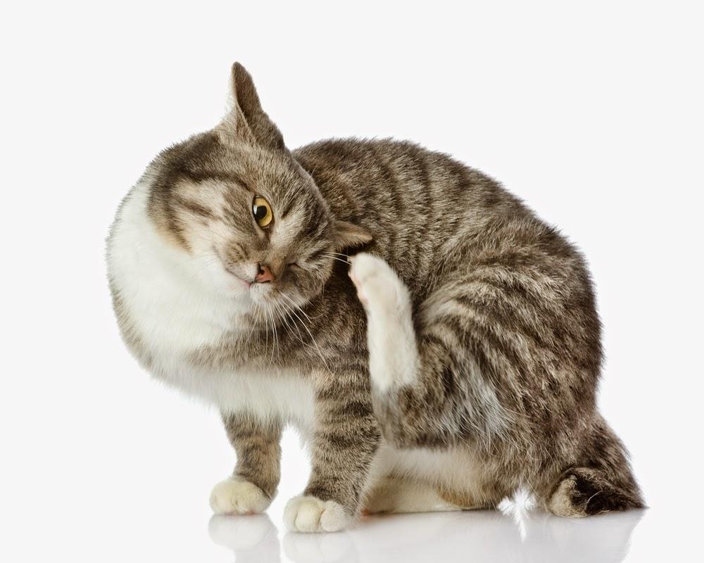 цестоды у кошек фото