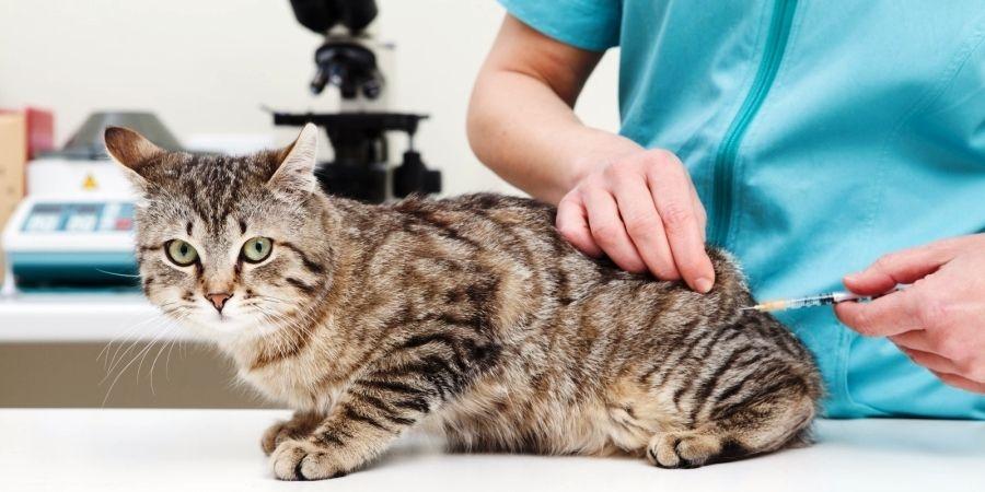 глисты у кошки передаются ли человеку