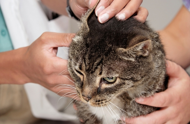 грибок у кошек симптомы и лечение