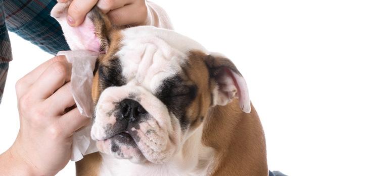 почистить уши собаке в домашних условиях