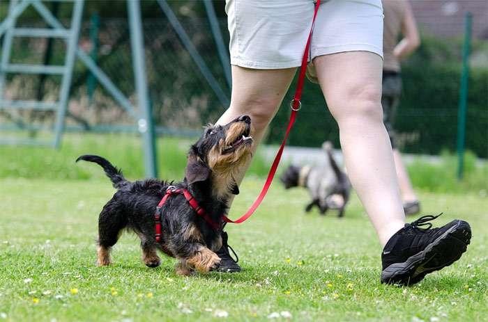 приучить собаку ходить рядом на поводке