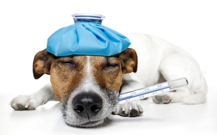 померить температуру у собаки обычным градусником