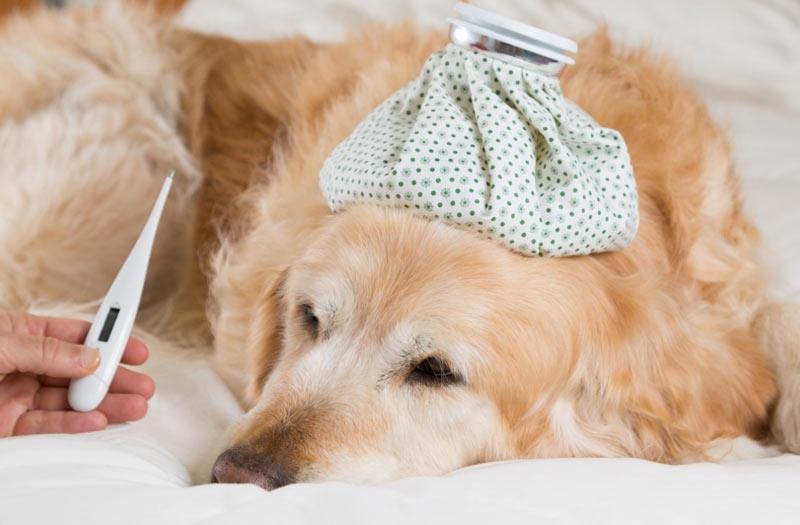 определить температуру у собаки без градусника